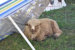 Sheepish Diva gets her own sun umbrella.